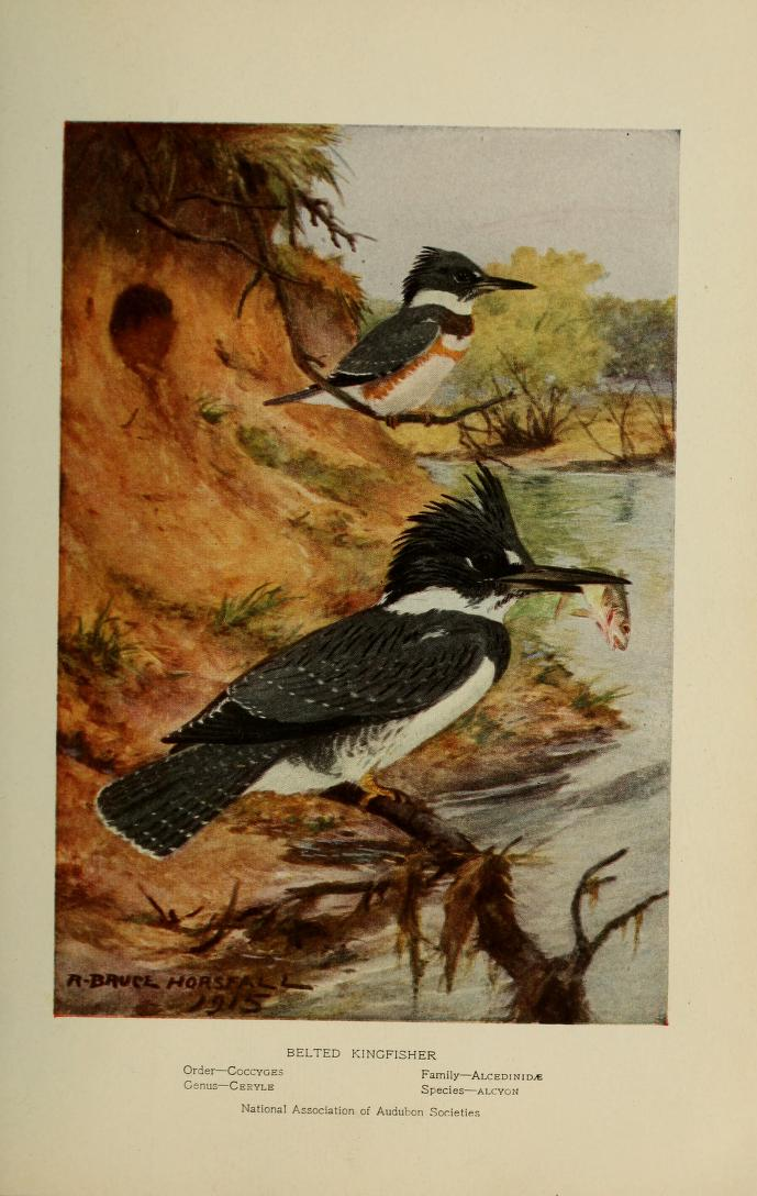 Belted kingfisher, two birds on branches near water, one holds a fish in its beack.